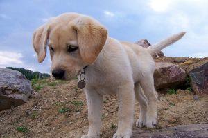 imagen de un labrador cachorro en el campo