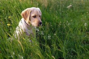 imagen de un labrador cachorro sentado en el campo