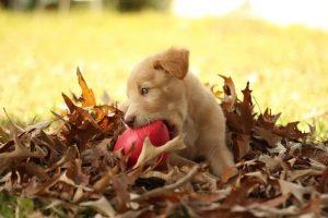 perro labrador oro cachorro jugando campo hojas