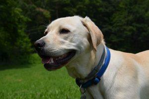 perro labrador oro campo pose mirada