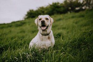 Imagen de un perro labrador