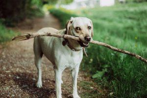 imagen de un perro labrador en el campo