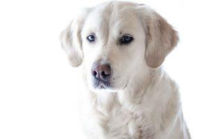 perro golden retriever sentado
