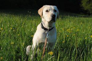 perro labrador oro sentado campo