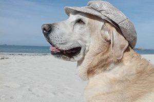 perro labrador oro sentado playa bohemio