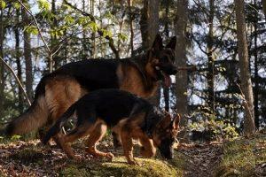 perros campo pastor alemán