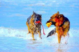 perros juego playa agua pastor alemán