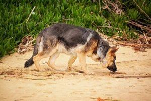 perro playa buscar pastor alemán