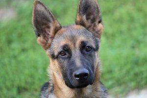 perro adolescente mirada pastor alemán
