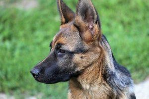 perro adolescente atento pastor alemán
