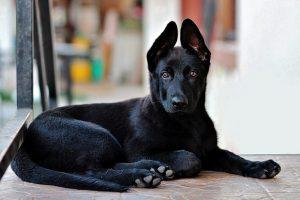 perro tumbado casa pastor alemán negro adolescente