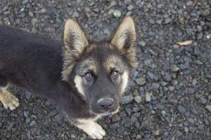 perro pastor alemán adolescente mirada