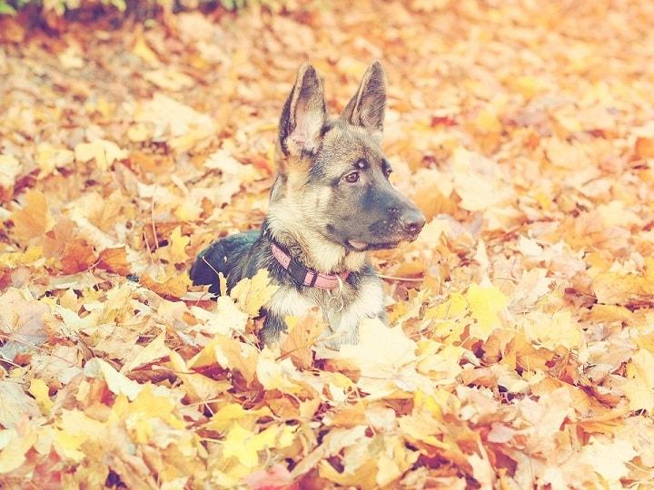 perro adolescente hojas pastor alemán
