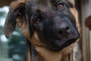 perro rejas pastor alemán adolescente mirada
