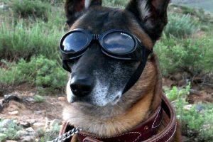perro motero gafas pastor alemán