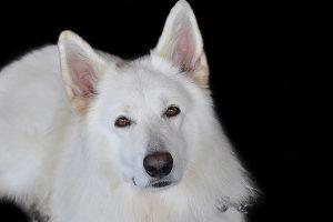 perro mirada sonrisa pastor alemán blanco