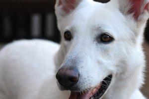 perro tumbado mirada pastor alemán blanco