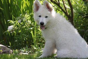 perro cachorro pastor alemán blanco campo