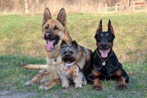 perros amigos pastor alemán