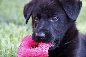 perro cachorro juguete rosa pastor alemán negro