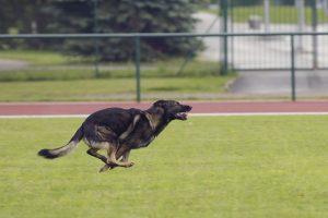 perro pastor alemán correr velocidad