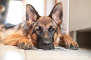 perro tumbado tranquilo pastor alemán