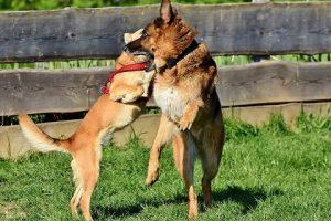 perros jugar pastor alemán