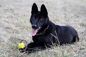 perro pastor alemán negro tumbado pelota