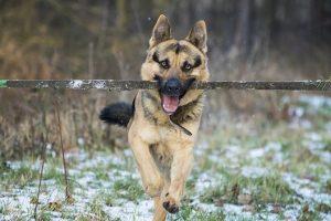 perro pastor alemán correr palo boca campo