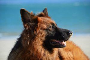 perro pastor alemán mirada playa