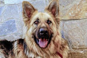 perro anciano pastor alemán sonrisa