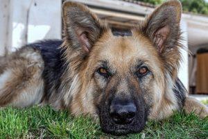 perro anciano pastor alemán descanso
