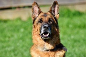 perro pastor alemán atento campo