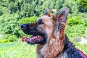 perro pastor alemán atento orden