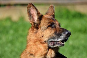 perro pastor alemán pose campo