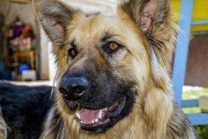 perro pastor alemán casa atento