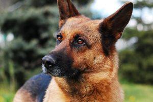 perro pastor alemán curioso campo
