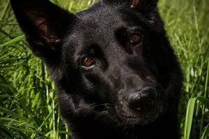 perro afinidad pastor alemán negro