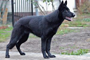 perro pose pastor alemán negro calle