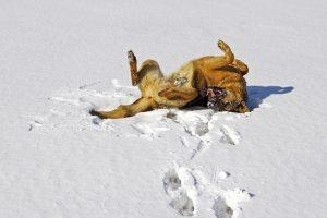 perro nieve jugar pastro alemán