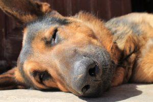 perro gracioso dormir pastor alemán