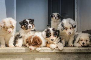 perros manada cachorros