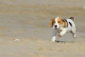 imagen de un precioso cachorro de beagle corriendo en la playa
