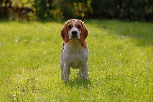 imagen de un precioso cachorro de beagle en el campo