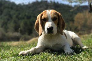 imagen de un precioso cachorro de beagle tumbado en el campo