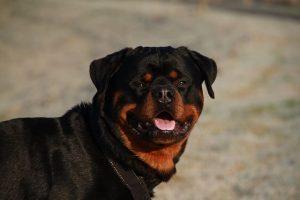 perro rottweiler cabeza grande mirada sonrisa