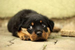 perro rottweiler cachorro tumbado casa