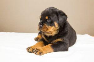 perro rottweiler cachorro tumbado manta
