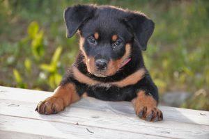 perro rottweiler cachorro valla campo hembra atenta