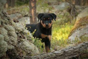 perro rottweiler cachorro valla campo juego